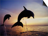 Bottlenose Dolphins Leaping Out of the Water at Twilight (Tursiops Truncatus) Prints by Marty Snyderman