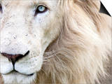 Full Frame Close Up Portrait of a Male White Lion with Blue Eyes.  South Africa. Art by Karine Aigner