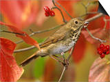 Hermit Thrush (Catharus Guttatus) in a Fall Dogwood Tree, the State Bird of Vermont, USA Posters by Steve Maslowski