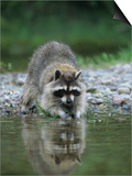 Raccoon Washing its Hands and Food, Procyon Lotor, North America Posters by Joe McDonald