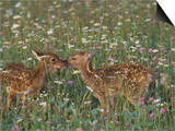 Two White-Tailed Deer Fawns in Wildflower Meadow, Odocoileus Virginianus, North America Prints by Jack Michanowski
