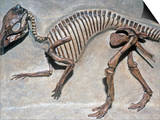 Good Mother Dinosaur Skeleton (Maiasaura Peeblesorum), Cretaceous Period, 75 M.Y.A., Montana, USA Prints by Ken Lucas