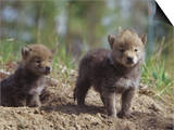 Coyote Pups at their Den Opening, Canis Latrans, North America Prints by Joe McDonald