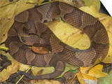 Northern Copperhead (Agkistrodon Contortrix Mokasen) Print by Bill Beatty