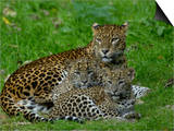 Sri Lankan Leopard (Panthera Pardus Kotiya) Mother with Cubs, Captive Poster by Dave Watts