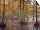 Bald Cypress Trees (Taxodium Distichum) in Spring Lake, Wall Doxey State Park, Mississippi, USA Art by Clint Farlinger