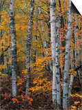 White or Paper Birch Forest in the Fall, Betula Papyrifera, North America Posters by John & Barbara Gerlach