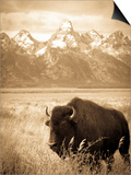 Bison in Grand Teton National Park Wyoming Prints by Justin Bailie