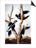 Ivory-Billed Woodpeckers Posters by John James Audubon