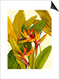 Tropical Bird of Paradise Lámina por Tim O'toole