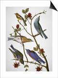 Audubon: Bluebirds Posters by John James Audubon