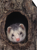European Ferret, Mustela Furo, a Common Pet Poster by Joe McDonald
