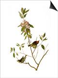 Audubon: Kinglet, 1827 Posters by John James Audubon