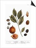 Nutmeg, 1735 Posters by Elizabeth Blackwell