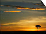 Acacia Tree Silhouetted at Sunrise, Masai Mara, Kenya Posters by Adam Jones