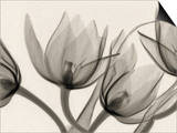 X-Ray of Tulip Flowers Art by George Taylor