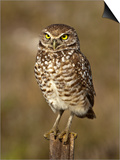 Burrowing Owl (Athene Cunicularia), Cape Coral, Florida, USA Posters by Gerald & Buff Corsi