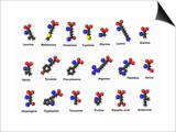 Molecular Models of Amino Acids Amino Acids are Critical to Life and Have Many Functions Posters by Carol & Mike Werner