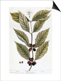 Cooffe Plant, 1735 Art by Elizabeth Blackwell