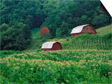Tobacco Field and a Pair of Red Barns Near Taylorsville, North Carolina, USA Posters by Adam Jones