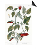 Chili Pepper, 1735 Prints by Elizabeth Blackwell