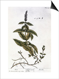 Mint Plant, 1735 Poster by Elizabeth Blackwell