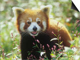 Red Panda (Ailurus Fulgens) an Endangered Species, Himalayas Print by Adam Jones