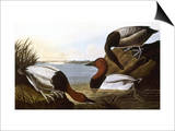 Audubon: Canvasback, 1827 Poster by John James Audubon