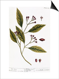 Cloves, 1735 Posters by Elizabeth Blackwell