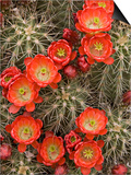 Claret Cup Cactus (Echinocereus Triglochidiatus) Blooming Prints by Don Grall
