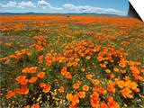 California Poppy (Eschscholzia Californica), Antelope Valley Poppy Reserve Near Lancaster Posters by Gerald & Buff Corsi