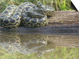 Yellow Anaconda (Eunectes Notaeus), Northern Argentina Prints by Mary Ann McDonald