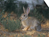 Mountain Cottontail Rabbit, Sylvilagus Nuttallii, North America Prints by Jack Ballard