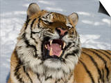 Siberian Tiger (Panthera Tigris Altaica) in Snow, Captive Posters by Dave Watts