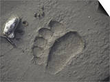 Grizzly Bear (Ursus Arctos) Track in Mud, Alaska, USA Prints by Tom Walker