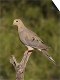 Mourning Dove (Zenaida Macroura) on a Snag, North America Print by Charles Melton