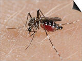 A Tiger Mosquito Feeding on Human Blood (Aedes Albopictus) Prints by Fabio Pupin