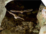 Mexican Brown Bats or Cave Myotis Bats Flying in a Cave (Myotis Velifer) Posters by John Abbott