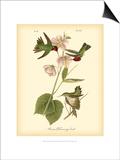 Anna Hummingbird Affiche par John James Audubon