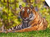 Bengal Tiger Sitting, Panthera Tigris, Asia Posters by Adam Jones