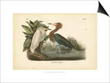 Audubon's Reddish Egret Poster by John James Audubon