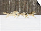 Gray Wolves (Canis Lupus) Running in the Snow with Birch Trees in Background, Northern Minnesota Prints by Jack Milchanowski