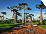 Grandidier´S Baobab (Adansonia Grandidieri), Near Morondava, Madagascar Prints by Thomas Marent