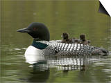 Common Loon with Chicks Riding on its Back (Gavia Immer) Prints by Tom Walker