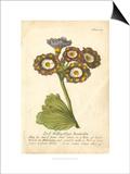 Non-Embellished Vintage Auricula I Prints by  Vision Studio