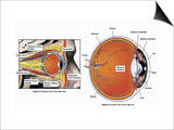 Illustration of the Normal Anatomy of the Human Eye and Orbit from a Sagittal (Cut-Away) Prints by  Nucleus Medical Art
