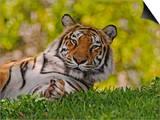 Bengal Tiger Sitting, Panthera Tigris, Asia Prints by Adam Jones