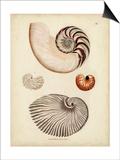 Antique Nautilus II Prints by George Wolfgang Knorr