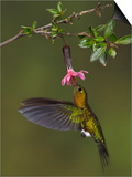 Golden-Breasted Puffleg (Eriocnemis Mosquera) Hovering and Feeding at a Red, Tubular Flower Art by Glenn Bartley