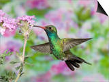 Male Broad-Billed Hummingbird (Cynanthus Latirostris) at Flower Posters by Steve Maslowski